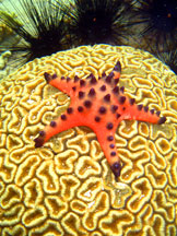 Brain Coral with Starfish