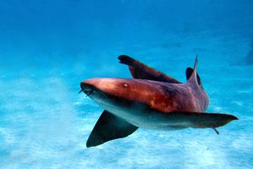 BVI Shark